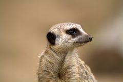 Meerkat eller suricate Royaltyfria Bilder