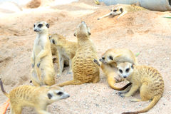 Meerkat eller Suricate i den öppna zooen, Thailand. Royaltyfri Fotografi