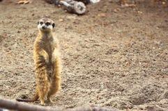 Meerkat eller suricate i zoo Arkivfoton