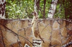 Meerkat eller suricate i zoo Arkivfoto