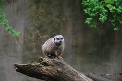 Meerkat em um registro fotografia de stock
