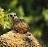 Meerkat em uma rocha Fotografia de Stock Royalty Free
