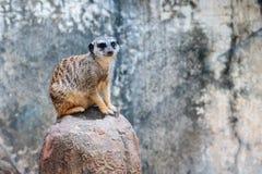 Meerkat em uma rocha Imagem de Stock