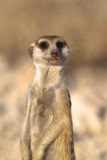 Meerkat en deber del puesto de observación Imagen de archivo