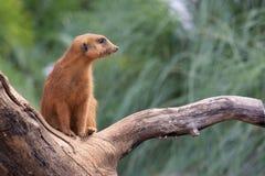 Meerkat en el árbol imagenes de archivo