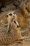 Meerkat en el cautiverio que mira alrededor de la presentación para la cámara Imagen de archivo