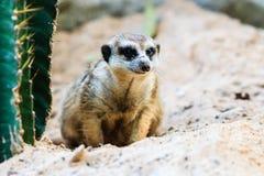 Meerkat en el parque zoológico Fotografía de archivo libre de regalías