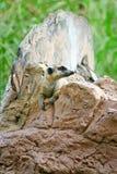 Meerkat en el parque zoológico Fotos de archivo libres de regalías