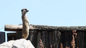 Meerkat en el reloj