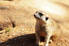 Meerkat en el reloj Imagen de archivo
