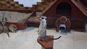 Meerkat en el zoo-granja almacen de video