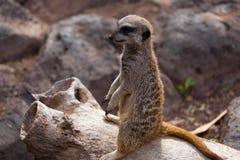 Meerkat en fondo de la roca Fotos de archivo libres de regalías