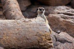 Meerkat en fondo de la roca Foto de archivo libre de regalías
