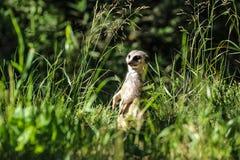 Meerkat en la hierba Fotos de archivo libres de regalías
