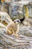 Meerkat en la sabana fotos de archivo libres de regalías