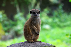 Meerkat en nature Photo libre de droits