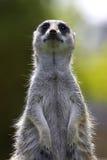 Meerkat en service Photos stock