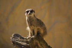 Meerkat en un registro Imagen de archivo