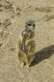 Meerkat enceinte se tenant sur la pointe des pieds Photos libres de droits