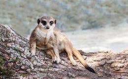 Meerkat encontra-se no tronco de uma árvore, olha em linha reta Fotografia de Stock