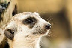 Meerkat enfrenta perto acima Fotografia de Stock