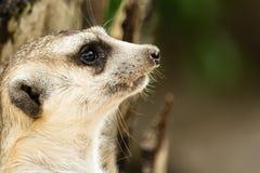 Meerkat enfrenta perto acima Imagem de Stock Royalty Free