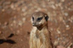 Meerkat ereto imagem de stock