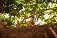 Meerkat está sentando-se em um monte pequeno Imagens de Stock Royalty Free
