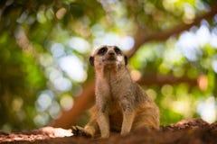Meerkat está sentando-se em um monte pequeno Foto de Stock