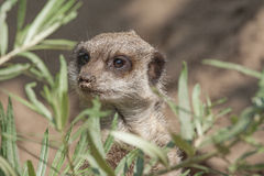Meerkat explores. Royalty Free Stock Photos