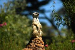 meerkat för 2 utkik fotografering för bildbyråer