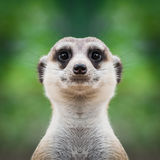 Meerkat face close up. Close-up of meerkat& x27;s face Royalty Free Stock Photo