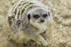 Meerkat face in close up with selective focus Royalty Free Stock Photos