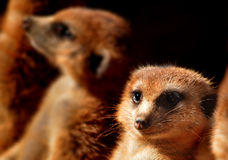 Meerkat face Royalty Free Stock Image