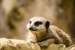 Meerkat Face Single Mongoose Laying Horizontal Alone Royalty Free Stock Photography