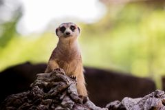 Meerkat face on tree stump with blur background Stock Images