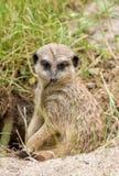 Meerkat fait une pause image stock