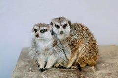 Meerkat-Familie nehmen ein Sonnenbad stockbilder