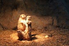 Meerkat familj Arkivfoto