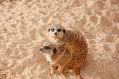 Meerkat family Royalty Free Stock Images