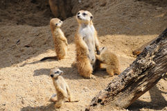 Meerkat Family Royalty Free Stock Photo