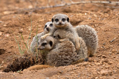 Meerkat Family Stock Images