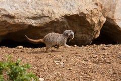Meerkat Family Stock Photo