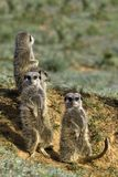 Meerkat Family Royalty Free Stock Photos