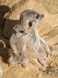 Meerkat Family Royalty Free Stock Photography
