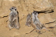 Meerkat Family Stock Photos