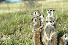 Meerkat family. On lookout in Botswana, Africa Stock Photo