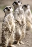 Meerkat family. A meerkat and its family looking attentive curious, and hopeful. The main subject is depicted sharply, the others being in soft focus Royalty Free Stock Images