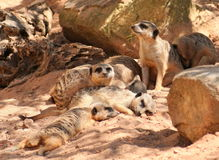 Meerkat family. Laying on the rocks Stock Images