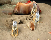 Meerkat family. A family of meerkats sitting together in a desert Royalty Free Stock Images